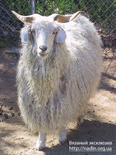 Это одна из наиболее древних пород коз